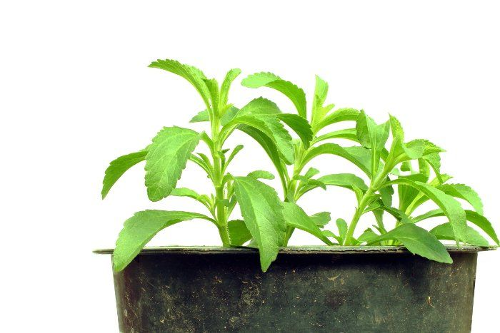 Exactly How To Grow Stevia: 10 Simple Tips – The Gardening Dad